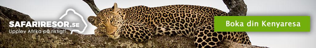 Leopard i Kenya
